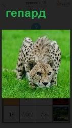460 слов 4 в зеленой траве хищный зверь гепард на охоте. Пригнувшись к земле готовится к прыжку 18 уровень