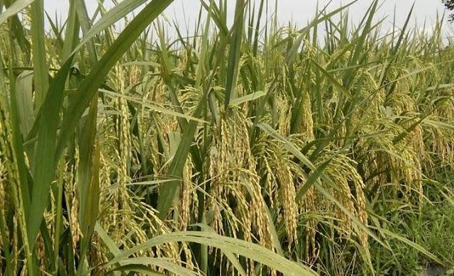 Kenaikan Harga Beras Tak Di Imbangi Dengan Harga Padi Yang Terus Merosot Dari Petani
