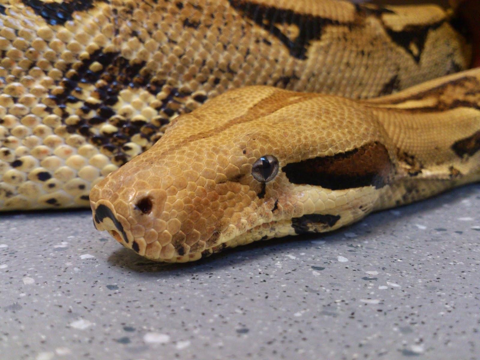 Reptile Blog Snake Senses Thermal Imaging