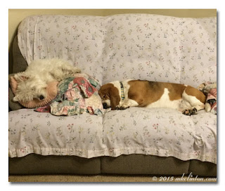 Westie and Basset asleep on the couch