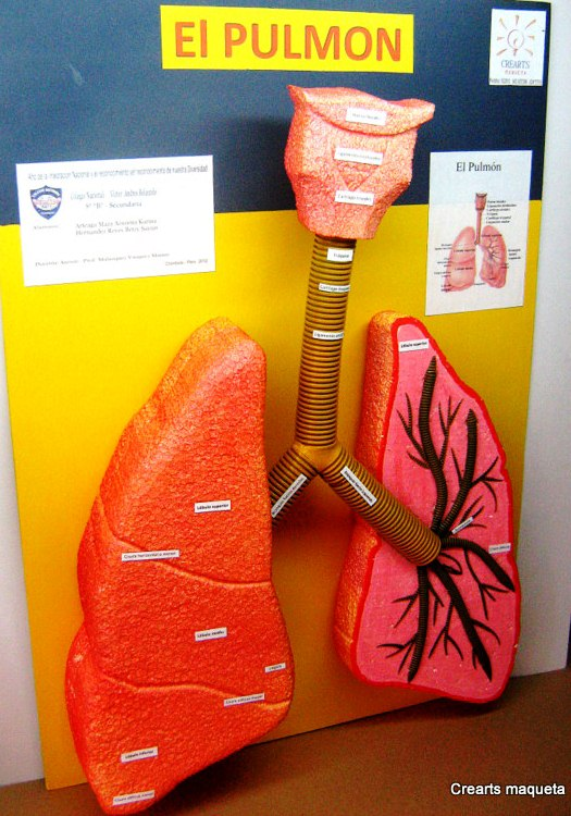 Homemade Respiratory System 3d Project