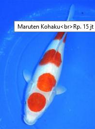 Jenis Ikan Koi Termahal marutan kohaku 15 juta