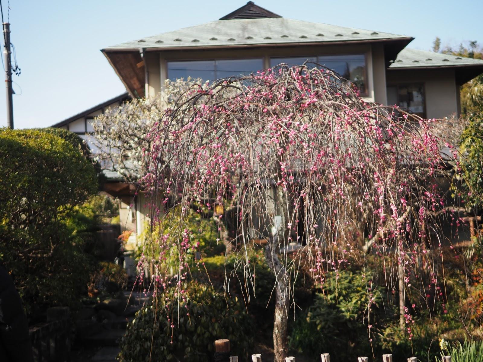 japan kanagawa sakura