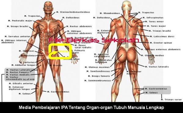 Media Pembelajaran IPA Tentang Organ-organ Tubuh Manusia