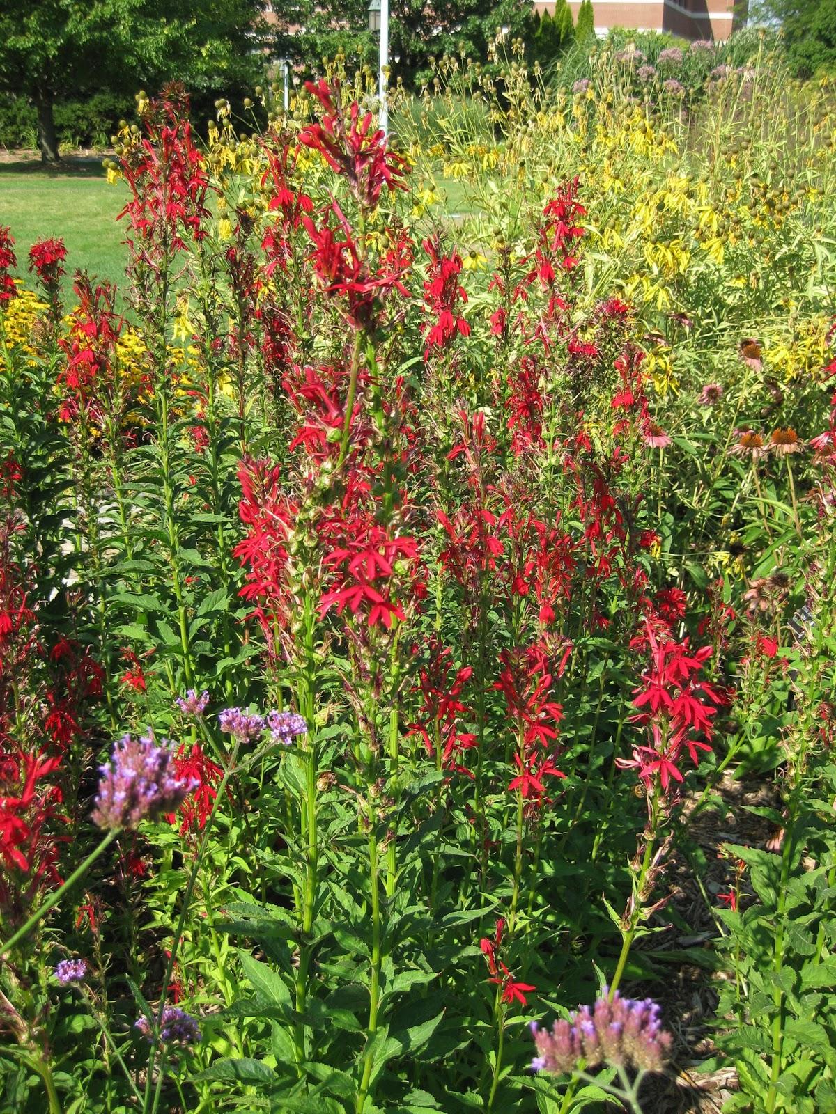 Classic Cardinal Flower Rotary Botanical Gardens