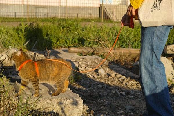 Как гулять с кошкой