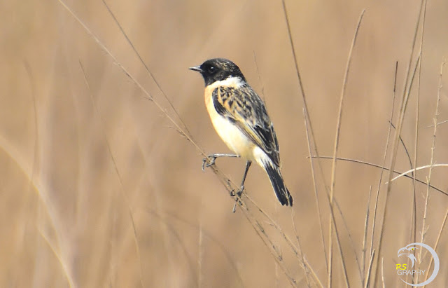 Siberian stonechat (2 Images)