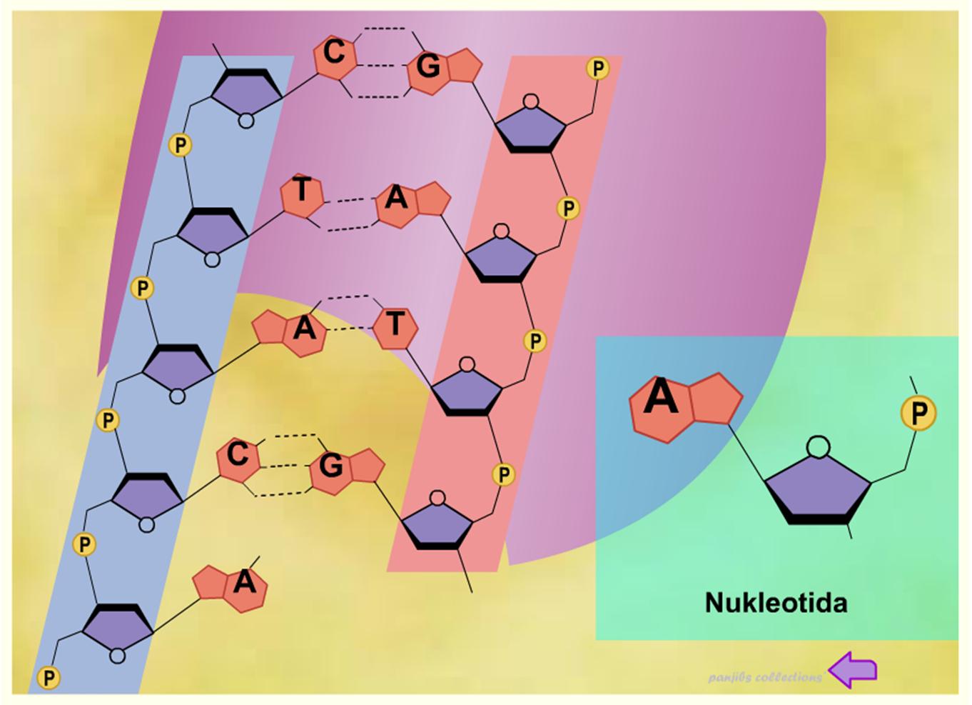Pernyataan Yang Benar Tentang Struktur Dinukleotida Utas ...
