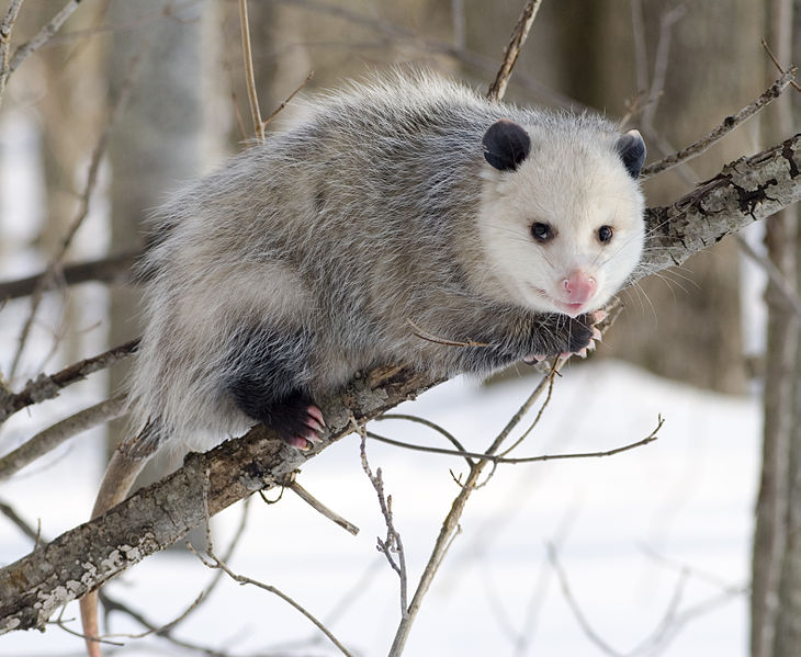 Mammals Animals: Opossum