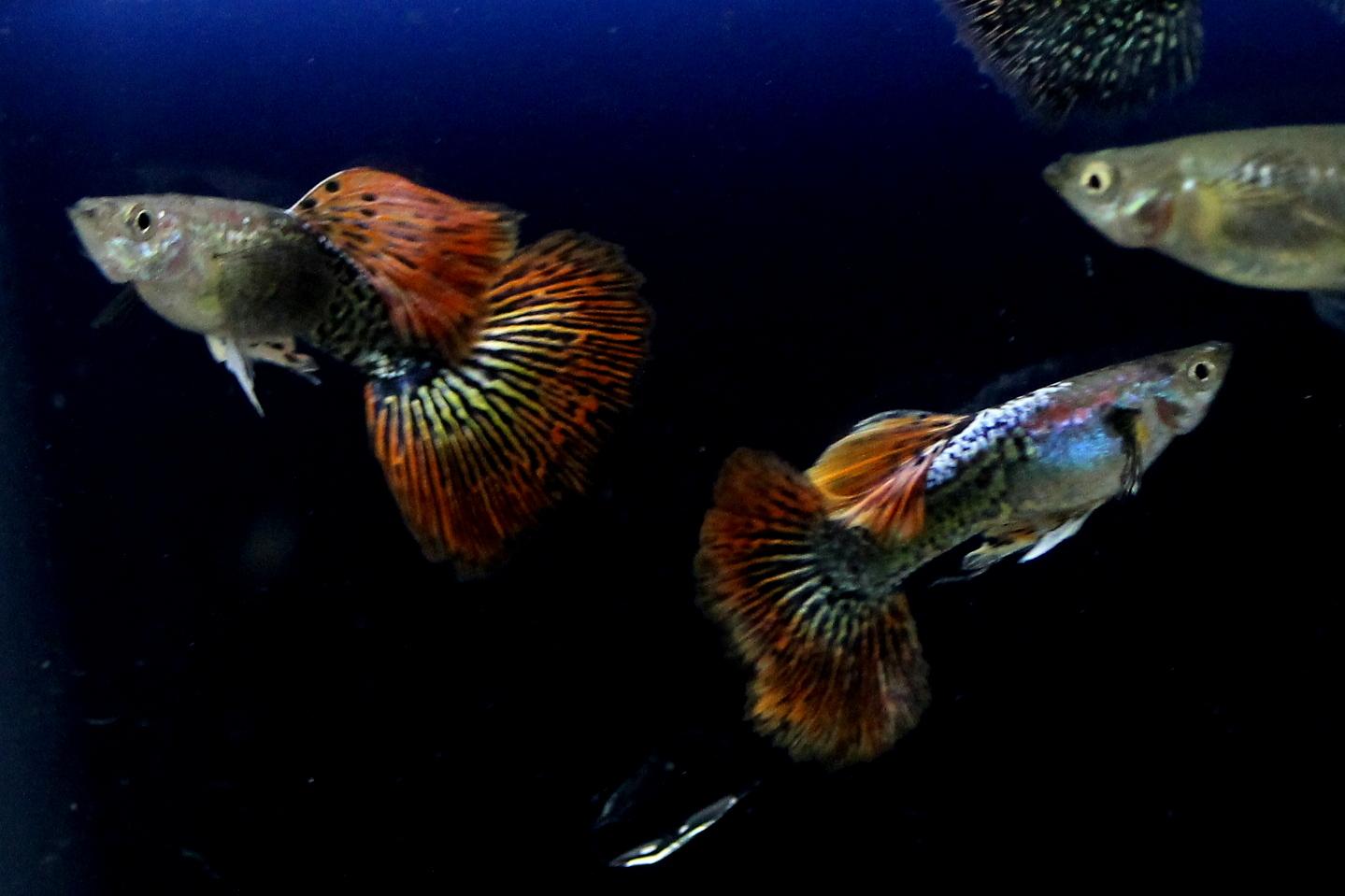 Guppy dragon big ear sale guppy fish indonesia guppy dragon big ear nvjuhfo Images