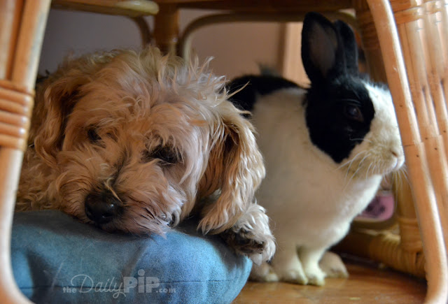 Can dogs and bunnies share space and play nicely - yes, dogs and bunnies can get along.