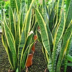 Santeria Maferba Plantas Protectoras Del Hogar