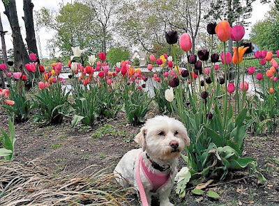 Phoebe among the tulips at the Tulip Festival