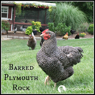 BARRED ROCK: slang for Barred Plymouth Rock, a brown egg-laying breed of chicken developed in Massachusetts.