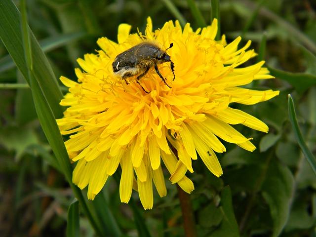 kwiat, łąka, owad, żółty