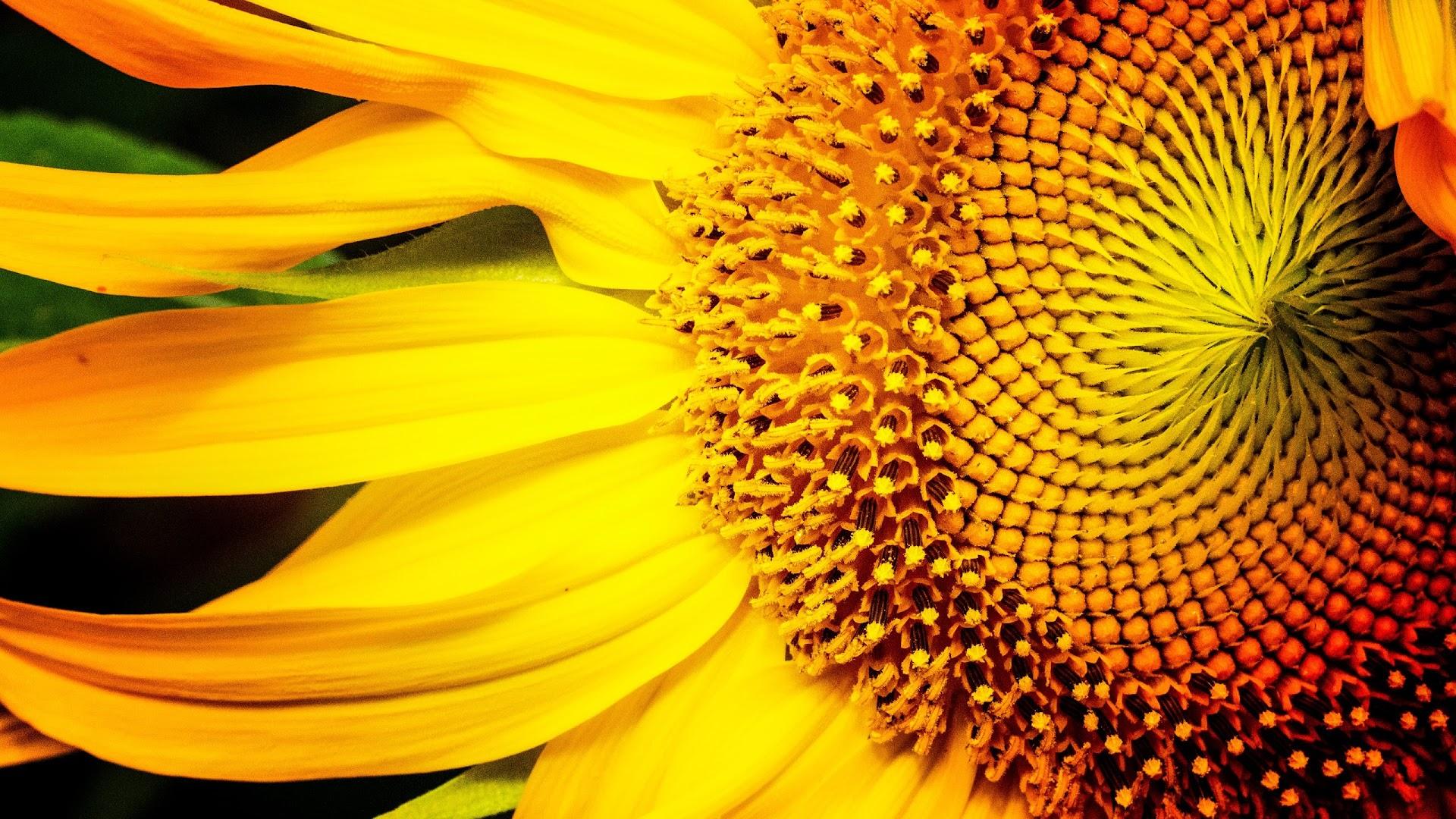 Honeybee On Sunflower Macro Video 영상 소스