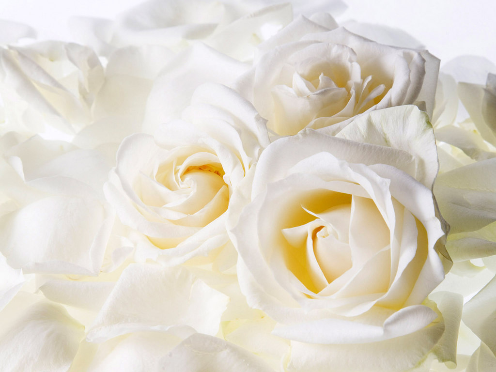 Wallpapers White Rose Wallpapers