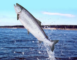 ikan salmon penghasil caviar salmon