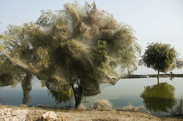 Death Shrouds From Hell - Spiders Cocooned These Trees To Save Themselves From A Flood