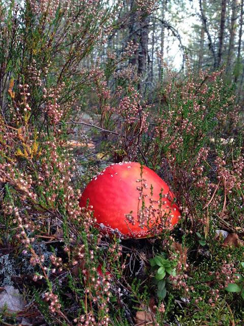 мухомор в лесу