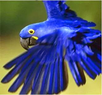 arara-azul-grande, ameaçada de extinção, aves do brasil, pássaros do brasil, extinção, animais, natureza, meio ambiente, lista de espécies ameaçadas de extinção, mma, ministério do meio ambiente, icmbio, birds, pássaros
