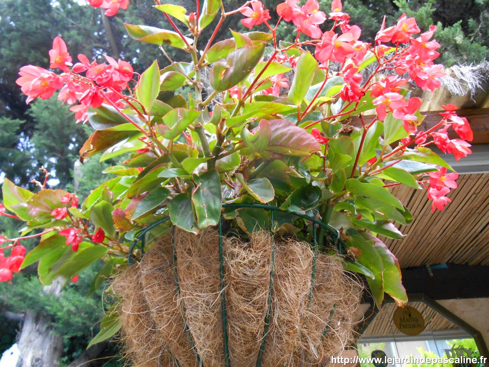 plante begonia dragon