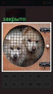 закрыты решеткой на замок две собаки
