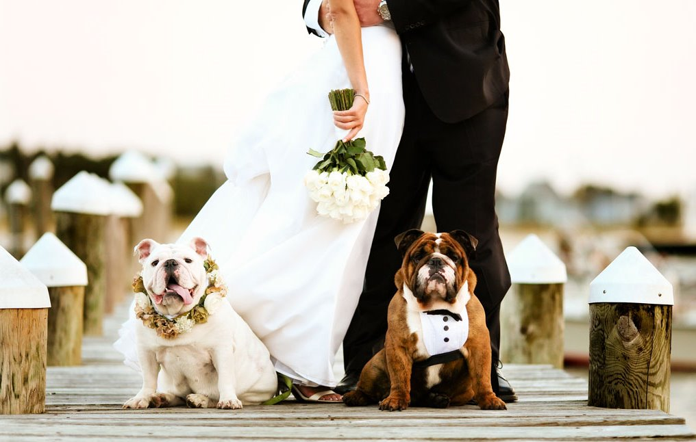 bulldog wedding pet ceremony
