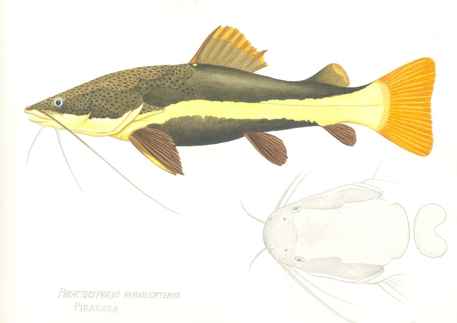 Flathead Catfish Drawing | www.imgkid.com - The Image Kid ...