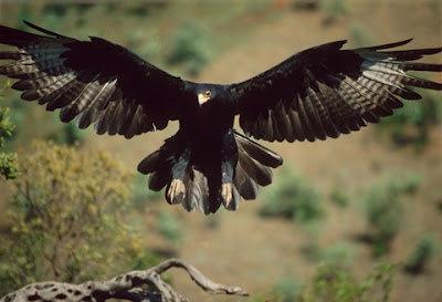 Burung Rajawali  Burung Elang  GambarBinatangCom