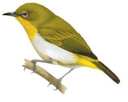 black-fronted white-eye (Zosterops minor) adalah salah satu jenis burung pleci yang terdapat di Indonesia