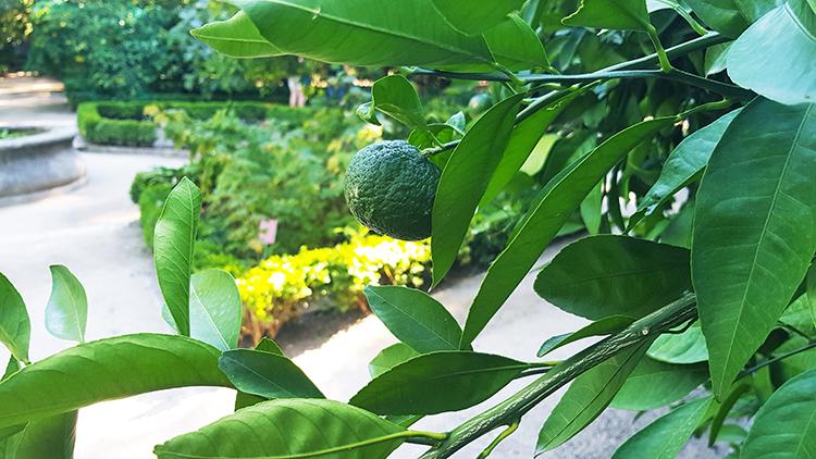 Citron au jardin botanique