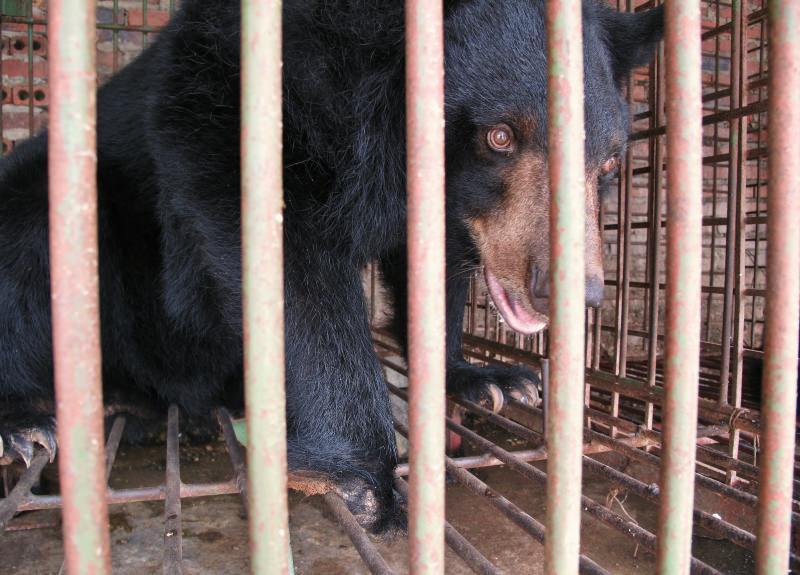 urso enjaulado numa quinta no Vietname