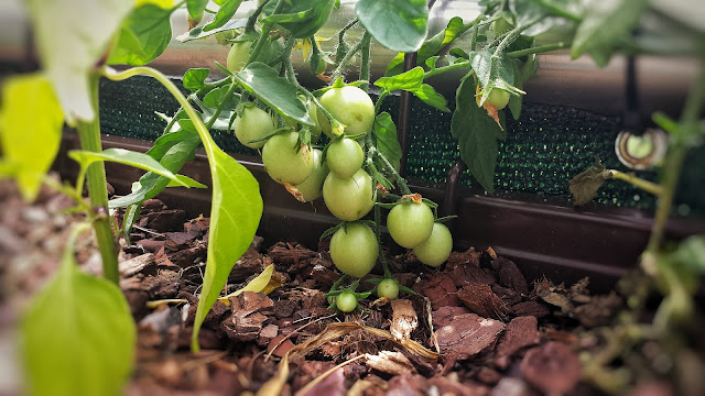 Tomaten Balkon