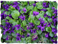 Violets in Bloom