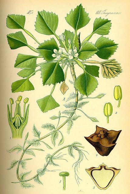 Hình ảnh Củ Ấu - Trapa bicornis - Nguyên liệu làm thuốc Chữa Cảm Sốt