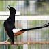 Trik Optimalkan Volume Suara Burung Murai Batu Dalam 2 Minggu