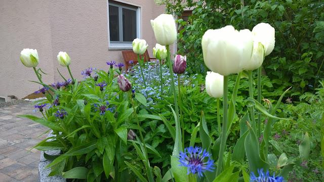 Bergflockenblume und Tulpen (c) by Joachim Wenk