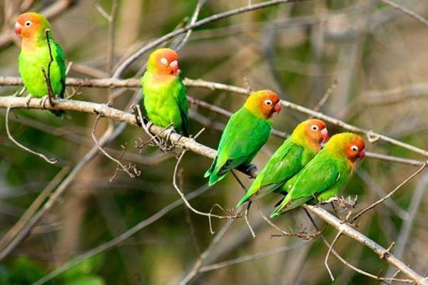 11 Cara Merawat Lovebird Yang Baik Dan Benar Supaya Rajin Bunyi Sukses Perawatan