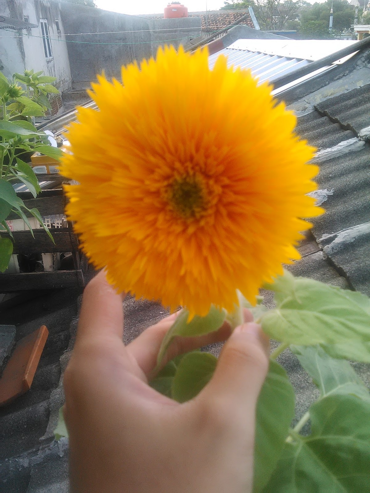 Cara Menanam Bunga Matahari Sun Flower Is Very Easy Ayo Berkebun Urban Farming