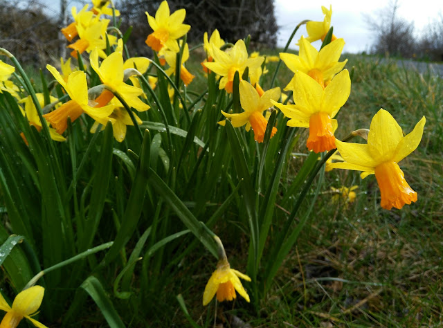 daffodils growing along the road