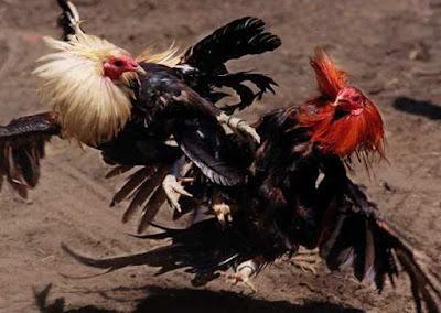 Judi Ayam Kuba