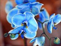 Orhidee albastra
