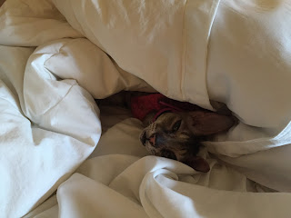 Coco, the Cornish Rex, enjoying at cat  nap in our luxurious room