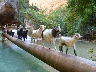 goat sheep catwalk