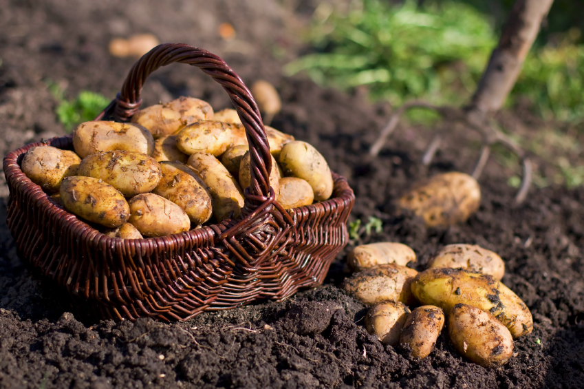 How To Grow Potatoes |The Garden Of Eaden