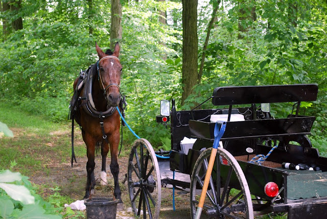 Amish cart horse resting in the shade