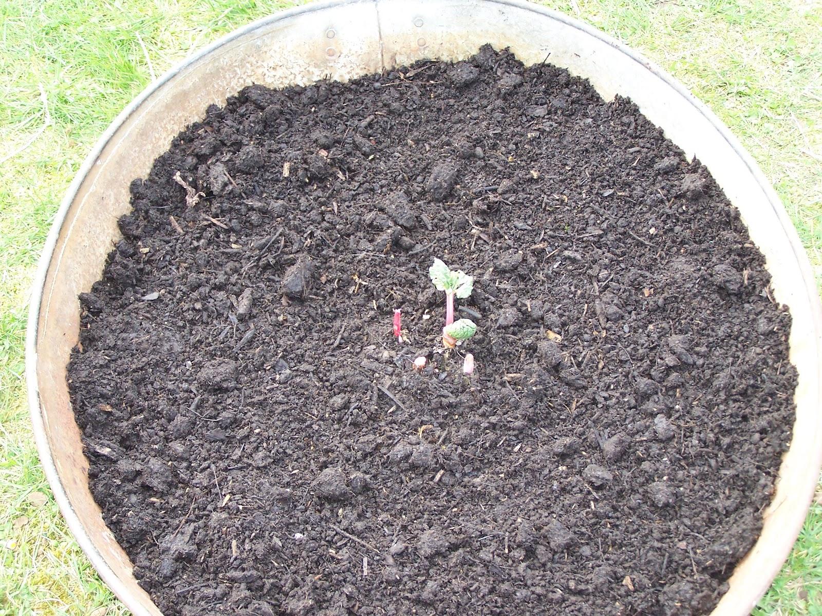 Comment planter de la rhubarbe dans une bassine en zinc