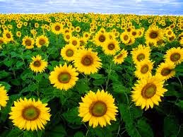 http://indonesian-herbal-medicine.blogspot.com/2014/12/sunflower-for-home-remedies.html