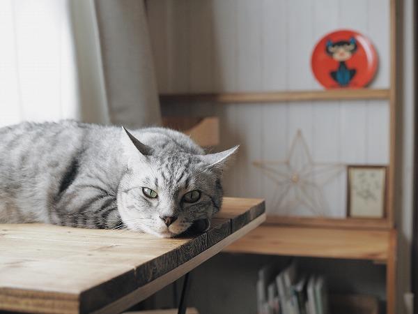 前足にあごを乗せてこっちを見ているサバトラ猫